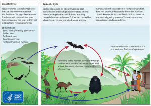 EbolaCycle