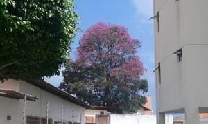 L'un ipé violet du genre Handroatus dans une zone résidentielle à Natal, Brésil. (Crédit photo: Fabio Santana).