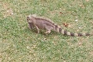 L'espèce Iguana sp vivent depuis l'Amérique du sud jusquà'au Amérique Centrale. Ils peuvent atteindre jusqu'à deux mètres de taille. (Crédit photo: Fabio Santana).